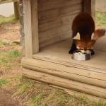 レッサーパンダにあえる大崎公園。イオン浦和近くの無料こども動物園