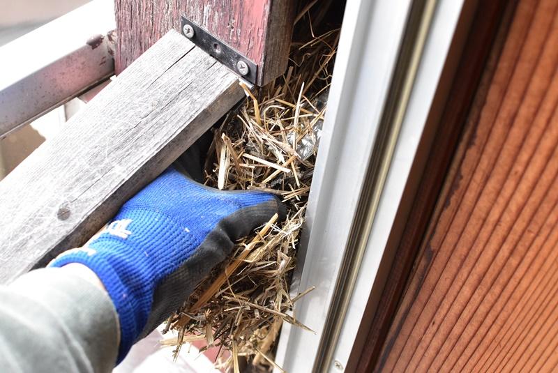 ムクドリの巣の掃除