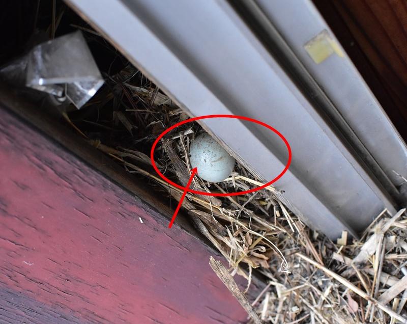 ムクドリの巣の掃除 孵化しなかった卵