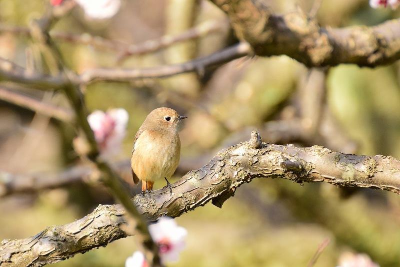 梅の木にとまる、ジョウビタキ