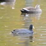 冬鳥を探して越谷市近郊の公園探鳥。ツグミ、シメ、オオバンを撮影しました