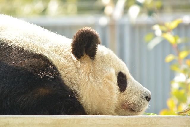 寝そべる パンダ