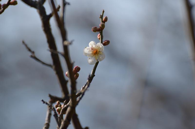 梅の花 解像不足