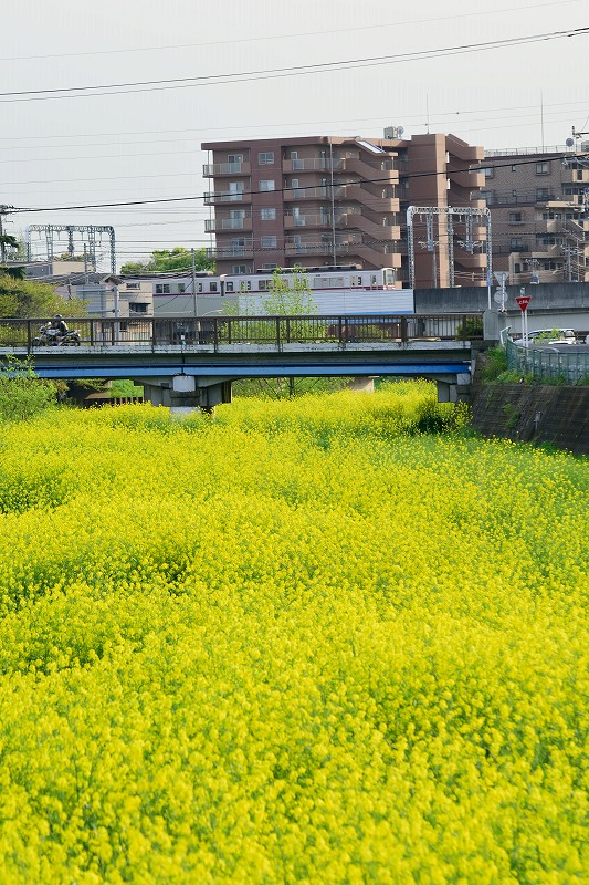 東武鉄道と菜の花