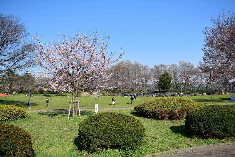 見沼氷川公園 桜
