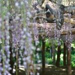 「牛島の藤」を見るために「藤花園」に行ってきましたin春日部市