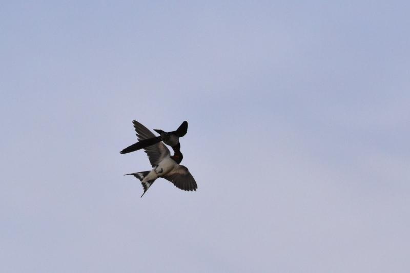 ツバメの空中での給餌