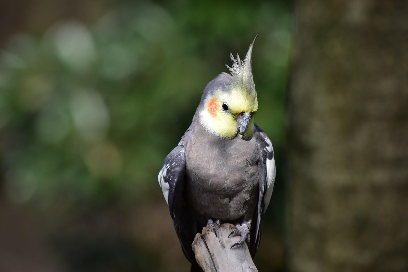 オカメインコ 野鳥の森